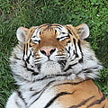 Tiger Nap Time by Dwight Cook