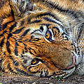Tiger Nap Time by Thomas Woolworth