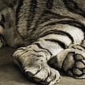 Tiger Paws by Dan Sproul