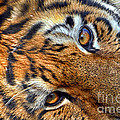 Tiger Peepers by Thomas Woolworth