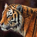 Tiger Portrait  by David Stribbling