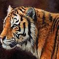 Tiger Portrait  by David Stribbling