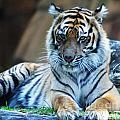 Tiger Posing by Ben Yassa