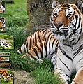 Tiger Poster 1 by John Hebb