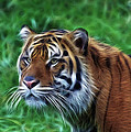 Tiger Profile by Steve McKinzie