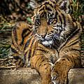 Tiger by Randy Scherkenbach