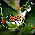 Tiger by Reid Callaway
