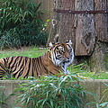 Tiger Resting by Lingfai Leung