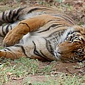Tiger Resting by Susan Garren