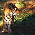 Tiger by Robert Edgar