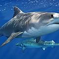 Tiger Shark by Owen Bell