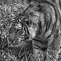 Tiger Stalking In Black And White by Thomas Woolworth