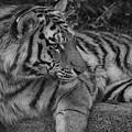 Tiger Stare by Beth Akerman