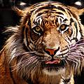 Tiger Stare by Cheri Hennig