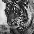Tiger Stare In Black And White by Thomas Woolworth