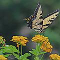 Tiger Swallowtail And Lantana by Sandi OReilly