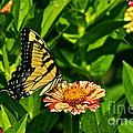 Tiger Swallowtail And Peppermint Stick Zinnias by Byron Varvarigos