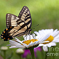 Tiger Swallowtail by B Christopher
