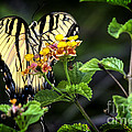 Tiger Swallowtail by Barbara Bowen