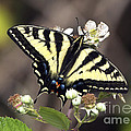 Tiger Swallowtail Butterfly 2a by Sharon Talson