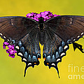 Tiger Swallowtail Butterfly, Dark Phase by Millard H. Sharp