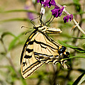 Tiger Swallowtail Butterfly Feeding by Anthony Mercieca