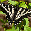Tiger Swallowtail Butterfly by Jeff Goulden
