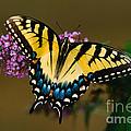 Tiger Swallowtail Butterfly by Joe Elliott