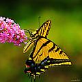 Tiger Swallowtail Butterfly by Karen Slagle