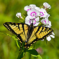 Tiger Swallowtail Butterfly by Ken Stampfer