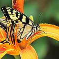 Tiger Swallowtail Butterfly On Daylily by Mother Nature
