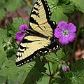 Tiger Swallowtail Butterfly On Geranium by Daniel Reed