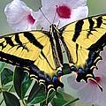Tiger Swallowtail Butterfly by Robert Jensen