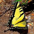Tiger Swallowtail Butterfly by Tara Potts