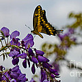 Tiger Swallowtail by Diana Black