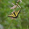 Tiger Swallowtail by Ernie Echols
