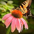 Tiger Swallowtail Feeding by Michael Porchik