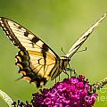 Tiger Swallowtail by Iris Richardson