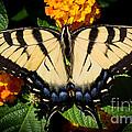 Tiger Swallowtail by Jason Picard