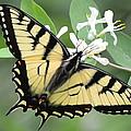 Tiger Swallowtail by Lisa Jaworski