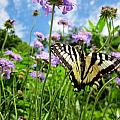 Tiger Swallowtail On Pincushion Flowers by MTBobbins Photography