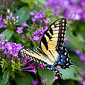 Tiger Swallowtail by Robert Camp