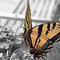 Tiger Swallowtail by Shane Bechler