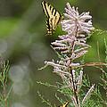Tiger Swallowtails by Ernie Echols