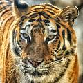 Tiger Tiger by Beth Akerman
