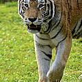 Tiger Tiger by Carol  Bradley