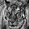 Tiger Tiger Monochrome by Beth Akerman