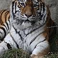 Tiger Waits by Paula Thomas