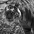 Tiger With A Cold Stare by Thomas Woolworth