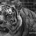 Tiger With A Hard Stare by Thomas Woolworth